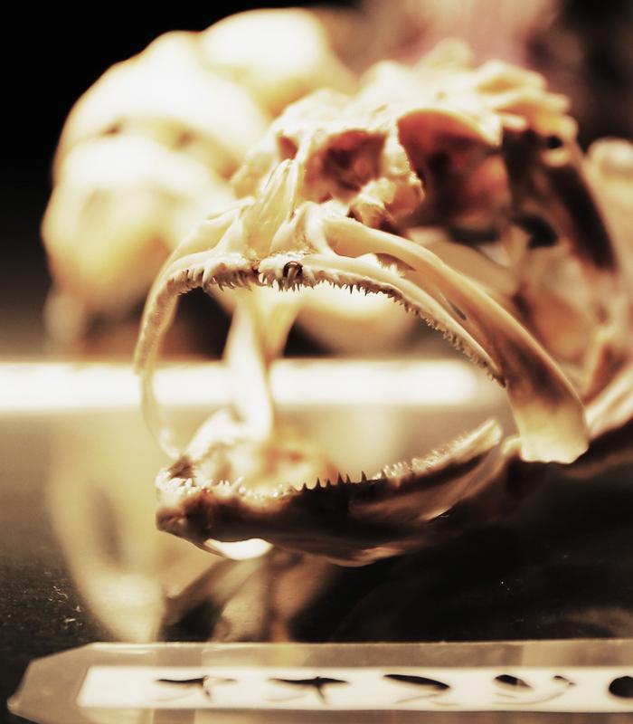 顎骨格標本